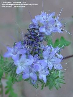 View picture of Purple Tansy, Fiddleneck (Phacelia tanacetifolia) at Dave's Garden. All pictures are contributed by our community. Seed Pods, Growing Seeds, Bloom, Dried Flowers, Purple, Botanical Gardens, Longwood Gardens, Flowers, Blue Tansy
