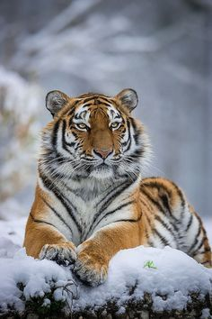 Siberian Tiger by Andreas Krappweis Nature Animals, Animals And Pets, Funny Animals, Cute Animals, Wild Animals, Tiger Illustration, Tiger Pictures, Animal Pictures, Tiger Images