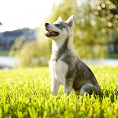 Click to learn about the Alaskan Klee Kai