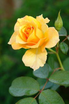 Friendship Rose I | par spgenoway