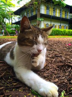 Meet the cats of Hemingway House in Key West, Florida http://www.traveling-cats.com/search/label/USA (Hemingway House, Hemingway cats, Key West, Florida, cats, Hemingway)