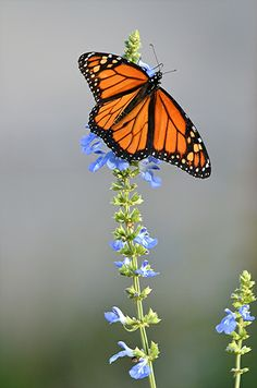 Monarch is nectaring on blue Lavender