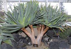 Aloe plicatilis