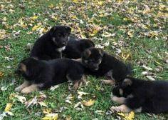 cute puppies Gsd Puppies, Cute Puppies, German Shepherds, Puppy Love, Doggies, Rock, Animals, Little Puppies, Animales