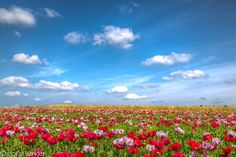 'field of poppies' by icefish