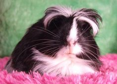 Image detail for -Silkies and 1 Coronet Baby Guinea Pig for sale in Kitchener, Ontario ... aww cute