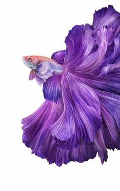 Best Picture For Tropical fish coral reefs For Your Taste You are looking for something, and it is going to … Beautiful Sea Creatures, Animals Beautiful, Cute Animals, Betta Fish Types, Betta Fish Tank, Beta Fish, Pretty Fish, Beautiful Fish, Beautiful Pictures