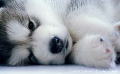 Baby Alaskan Malamute ( I want this dog or a Husky), I think this might be a husky.