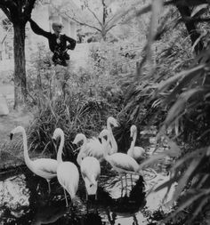 Another famed feature at Biba were the Kensington Roof Gardens where you could enjoy a cream tea or a cocktail amongst exotic plants, flamingos and, according to Barbara Hulanicki, some particularly vengeful penguins.