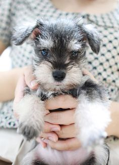 Who doesn't need a baby schnauzer? I love you baby schnauzer