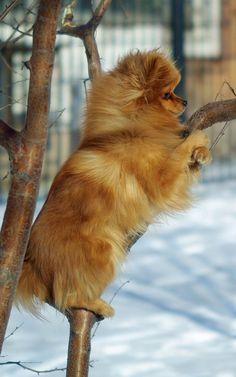 Pom in a tree
