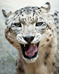 I LOVE snow leopards, so beautiful. Only big cat that doesn't roar.  Such a cool cat.