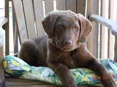 Chesapeake Bay Retriever Pup ~ Classic Look