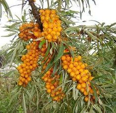 Sea buckthorn is a perennial shrub. It is hardy in zones 3 to The plant prefers light, sandy soil. Sea buckthorn will grow best in full sun, as it needs a lot of energy to produce a large crop of berries. It cannot tolerate shade at any stage of growth. Sea Berries, Berry Plants, Permaculture Design, Permaculture Garden, Forest Garden, Pitaya, Exotic Fruit, Edible Garden, Fruit Trees