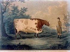 Etching of the Durham Ox by John Boultbee (1753-1812).