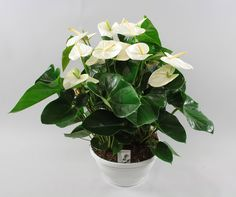 Anthurium andr. White Beauty Ø30cm