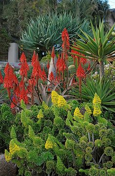 Draceana, aloe blooms, and Aeoniums by plantmanbuckner Succulent Gardening, Cacti And Succulents, Planting Succulents, Dry Garden, Summer Garden, Garden Plants, Agaves, Front Yard Plants, California Garden