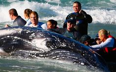 Sea World marine rescuer workers try to rescue a humpback whale beached at Palm Beach on Queensland's Gold Coast