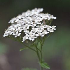 As a flower essence, yarrow is used to purify negative or malicious energy coming from other humans or one's environment, strengthening appropriate boundaries. Dried yarrow stems have been used in for centuries in China to divine and interpret the I-Ching....