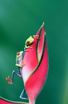 Red-eyed tree frogs, Sarapiquí, Costa Rica by Bruce Leventhal (i want some as pets! Nature Animals, Animals And Pets, Cute Animals, Wild Animals, Baby Animals, Beautiful Creatures, Animals Beautiful, Red Eyed Tree Frog, Photo Animaliere