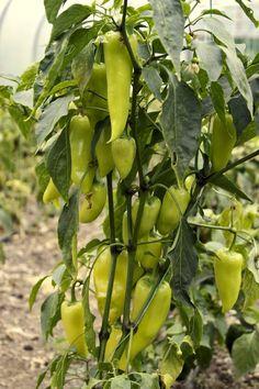 Small Vegetable Gardens, Vegetable Garden Design, Types Of Vegetables, Growing Vegetables, Pepper Plants, Edible Plants, Farm Gardens, Organic Farming, Tropical Garden