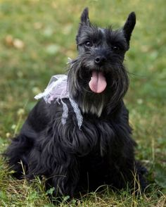 schnauzer pictures | The Official AKC approved list of Hypoallergenic breed dogs .