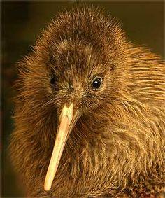 kiwi brain