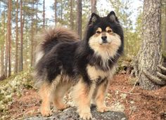 Finnish Lapphund Animals And Pets, Baby Animals, Funny Animals, Cute Animals, Baby Dogs, Dogs And Puppies, Doggies, Beautiful Dogs, Animals Beautiful