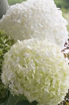 Incrediball® Smooth Hydrangea, Hydrangea arborescens 'Incrediball' I wonder if I can grow these in The Bahamas? Flowering Shrubs, Trees And Shrubs, Trees To Plant, Smooth Hydrangea, Hydrangea Care, White Flowers, Beautiful Flowers, Exotic Flowers, Yellow Roses
