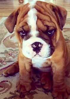 "Cute bulldog puppy. ""You can't leave me home alone for so long. You just can't!"" #puppy #bulldog"