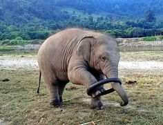 Baby elephant playing with a hoop