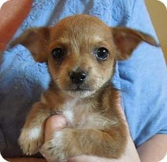 Arcadia, FL - Chihuahua/Poodle (Miniature) Mix. Meet Lil' Abner, a puppy for adoption. http://www.adoptapet.com/pet/15718271-arcadia-florida-chihuahua-mix