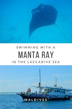 Manta ray   Maldives travel