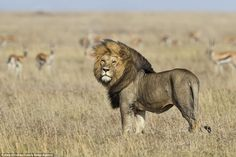 He poses in front of a backdrop of arid grassland, more bothered with posing for the camera than hunting for prey
