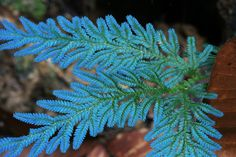 """Peacock Fern [There are a few different """"blue"""" Selaginella. Typically this is an adaptation to very low light conditions in the understory of the rainforest so put these plants in shady places to see them at their best. Also realize that photos like these are showing reflections of the flash and they don't typically exhibit the fluorescent blue you see in many photos, it's more of a sheen]"""