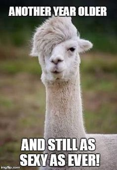Alpacas resemble a small llama in appearance and are domesticated species of South American camelid. What makes them different is their hairstyle. Never have an idea that the alpacas have the most glamorous hair in the whole animal kingdom. Animal Captions, Funny Animal Memes, Funny Animal Pictures, Funny Animals, Cute Animals, Funny Memes, Funny Llama, Funniest Animals, Alpaca Funny
