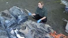 Australian scientist's CSI-style approach gets results in battle against illegal shark fin trade   Read more: http://www.smh.com.au/technology/sci-tech/australian-scientists-csiapproach-gets-results-in-battle-against-illegal-shark-fin-trade-20151105-gkrgu7.html#ixzz3qvuyjANo  Follow us: @smh on Twitter | sydneymorningherald on Facebook