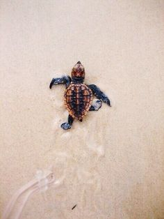Go sea turtle, go! It's one sea turtle hatchling against the entire ocean! Cute Creatures, Beautiful Creatures, Animals Beautiful, Majestic Animals, Ocean Creatures, Loggerhead Turtle, Cute Turtles, Baby Sea Turtles, Turtle Love