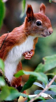 Animals Of The World, Animals And Pets, Baby Animals, Cute Animals, Squirrel Pictures, Funny Animal Pictures, Beautiful Creatures, Animals Beautiful, Hamsters