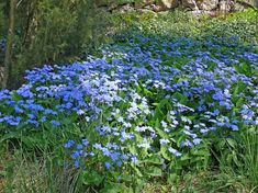 omphalodes verna Shade Garden, Garden Planning, Blue Flowers, Shrubs, Gardening Tips, Perennials, Woodland, Home And Garden, Plants