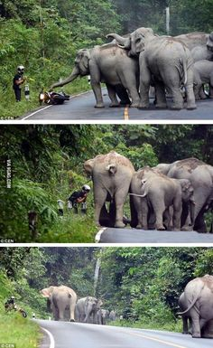 A man apologizing to a group of elephants after the sound of his motorcycle angered them Group Of Elephants, All About Elephants, Save The Elephants, Photos Of Elephants, Asian Elephant, Elephant Love, Beautiful Creatures, Animals Beautiful, Animals And Pets
