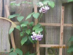 Looks like an orchid but it is not.  Climbing vine!