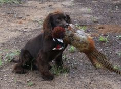 English cocker spaniel with hunt