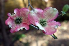 pink dogwoods make me incredibly happy