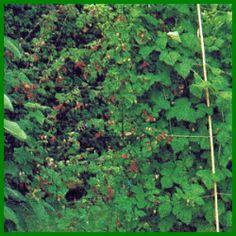 Schulung und Schnitt von Obststräuchern Ficus, Plants, Strawberry Tree, Fig Tree, Bud, Blackberries, Branches, Harvest, Fig