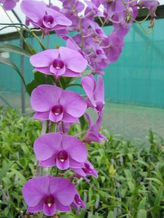 Cooktown Orchid - Dendrobium bigibbum is flowering plants, up to 32 inches (80 cm) tall. The flowers are pink or purple (sometimes almost white) on canes up to...