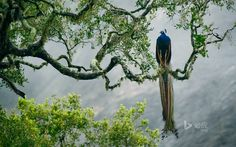 Indian peacock in Yala National Park, Sri Lanka (© Kevin Schafer/Minden Pictures) Though native to South Asia, and especially India, the peafowl has been introduced all over the Western Hemisphere, Australia, and even in South Africa and Madagascar. The male, known as a peacock, has become a symbol of exotic beauty and its feathers have been used in fashion design for centuries. Peacocks figure into various Eastern mythologies, with prominent roles in Hindu lore. A peacock, for example, is…
