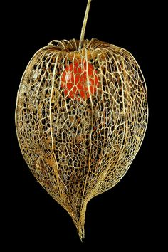 Chinese Lantern by There and back again, via Flickr