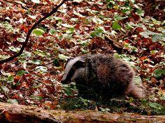 Der Dachs (Meles meles) ist einkurzbeiniges, omnivores Säugetier aus der Familie der marderartigen Beutegreifer, wie auch die Otter, Iltisse, Wiesel und Vielfrasse.Laub- und Mischwälder des Flach…