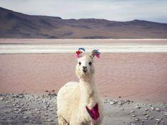 Llama Coqueta - Laguna Colorada BOLIVIA Concurso National Geographic Traveler 2014 (© Esther Buttery / National Geographic Traveler)